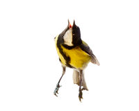 Titmouse bird Stock Images