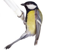 Titmouse bird isolated on white Stock Image