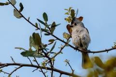 Titmouse Bird on a Limb Stock Photo