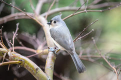 Titmouse. Bird sitting on a limb Royalty Free Stock Images