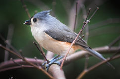 Titmouse. Bird sitting on a limb eating a seed Stock Images