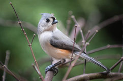 Titmouse. Bird sitting on a limb with its head turned to the left Stock Photos