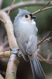 Titmouse. Bird sitting on a limb with its head turned to the right Royalty Free Stock Image