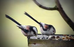 Titmouse in bird table. Typical winter wiev Royalty Free Stock Photos
