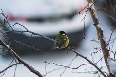 Titmouse bird winter. Yellow on branch winter city Stock Photos