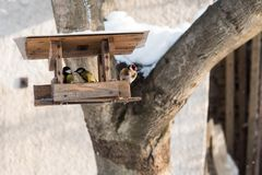 Titmouse birds and goldfinch eating seed from bird feeder in winter Royalty Free Stock Image