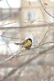 Titmouse – birds wildlife. Stock Photos