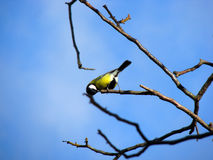 Titmouse on a branch stock images