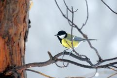 Titmouse on branch Stock Image
