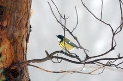 Titmouse on branch Stock Photos