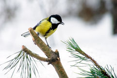 Titmouse on branch Stock Images