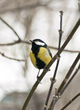 Titmouse on the branch. Yellow titmouse on the branch Stock Image