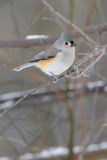 Titmouse on branch Royalty Free Stock Photo