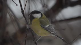 Titmouse on the branch, close-up stock video