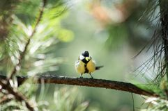 Titmouse on a branch Stock Photos