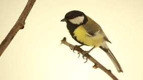 Titmouse on branch isolated on a white stock video footage
