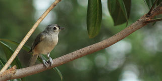 Titmouse-branch L Royalty Free Stock Photography