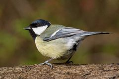 Titmouse on a branch looking left Stock Photography