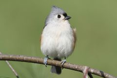 Titmouse On A Branch Royalty Free Stock Photography