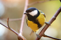 Titmouse on branch Royalty Free Stock Image