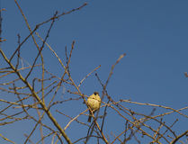Titmouse on branches Stock Images