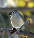 Titmouse and Caterpillar royalty free stock photos