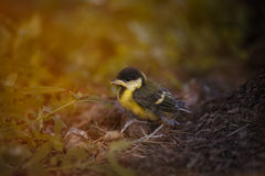 Titmouse chick& Royalty Free Stock Images