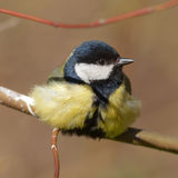 Titmouse close up Royalty Free Stock Images