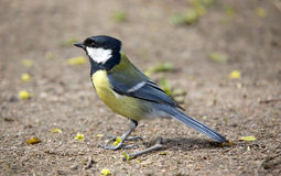 Titmouse close up. On the ground in spring Royalty Free Stock Photos