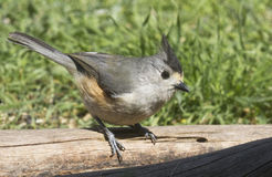 Titmouse Close Up Stock Images