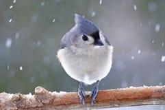 Titmouse copetudo en nieve Fotos de archivo