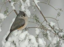 Titmouse copetudo en tormenta de la nieve Foto de archivo libre de regalías