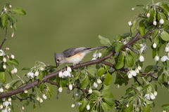 Titmouse in Crabapple Blossoms Royalty Free Stock Photo