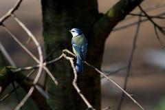 Titmouse da natureza animal do pássaro Imagens de Stock Royalty Free