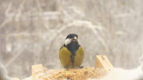 Titmouse do movimento lento que come dos alimentadores do pássaro no inverno filme