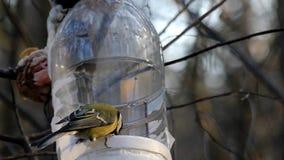 Titmouse dois que come dos alimentadores do pássaro nas madeiras no movimento lento video estoque