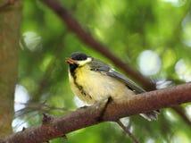 Titmouse dos pássaros do principiante Fotos de Stock Royalty Free