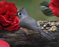 Titmouse on Driftwood Royalty Free Stock Image
