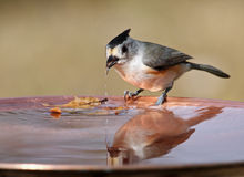 Titmouse Drinker Royalty Free Stock Photo