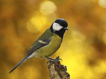 Titmouse on a dry tree stump Stock Images