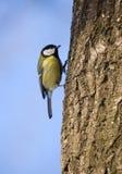 Titmouse em um tronco de árvore Foto de Stock Royalty Free