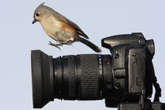 Titmouse en cámara Fotos de archivo libres de regalías
