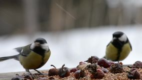 Titmouse in the feeder with berries and grain stock video footage