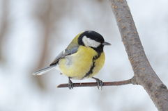 Titmouse female on a twig Royalty Free Stock Images