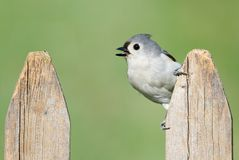 Titmouse On A Fence Royalty Free Stock Photo