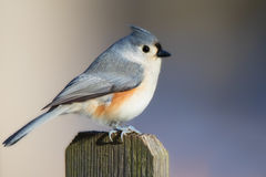 Titmouse on Fencepost Royalty Free Stock Photography