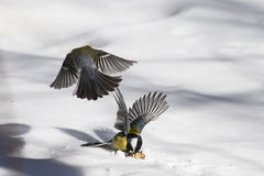 titmouse fighting in the snow for nuts Royalty Free Stock Photos