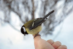 Titmouse on a finger. Sits on the big finger and looks downwards Stock Images
