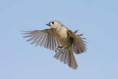Titmouse In Flight Royalty Free Stock Images