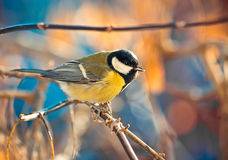 Titmouse grand sur un branchement Photos stock
